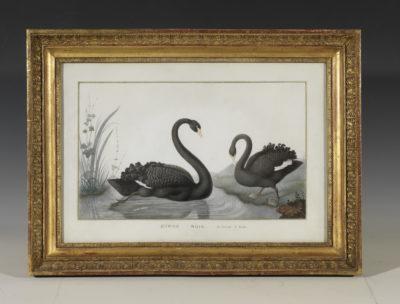 Cygnes noirs du détroit de Bass - Patrimoine Charles-André COLONNA WALEWSKI, en ligne directe de Napoléon